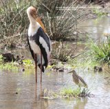 Painted Stork & Indian Pond Heron.  Had to take this photo to show the difference in size of these two wading species