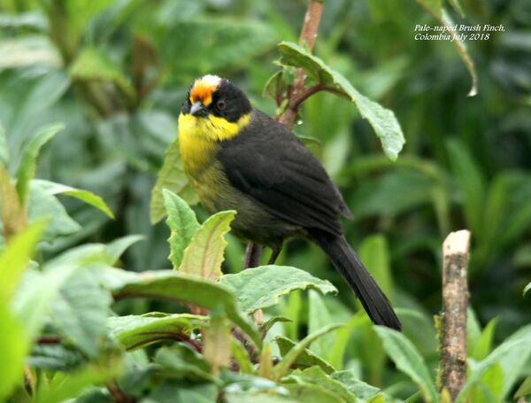 Pale-naped Brush Finch