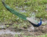 Peafowl, very exciting to see these in the wild instead of in collections at home