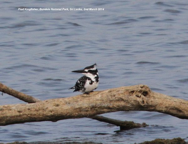 Pied Kingfisher, three of these beautiful kingfishers, distant but wonderful at Bundala National Park