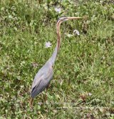 Purple Heron.  Great birds, we have seen many over the years, our first was in the UK at Elmley in Kent, they are not so common in the UK, but plenty in Hungary