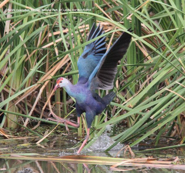 Purple Swamphen. Bundala National Park.
