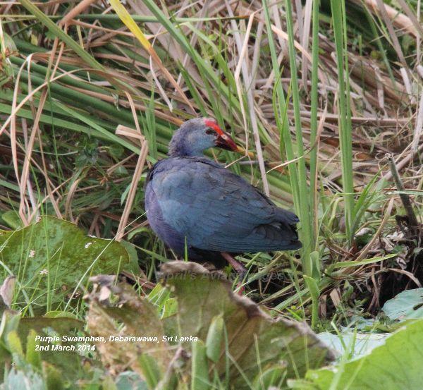 Purple Swamphen, this photo was taken at Debarawawa Wetland.