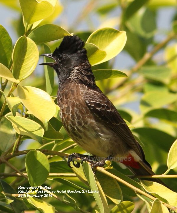 Red-vented Bulbul, and this one was in the gardens of the Kitulgala Rest House Hotel