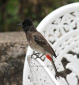 Red-vented Bulbul.  These guys were common, we saw lots of them, very pretty with a lovely song.  This one was in the grounds of the Tea Factory.