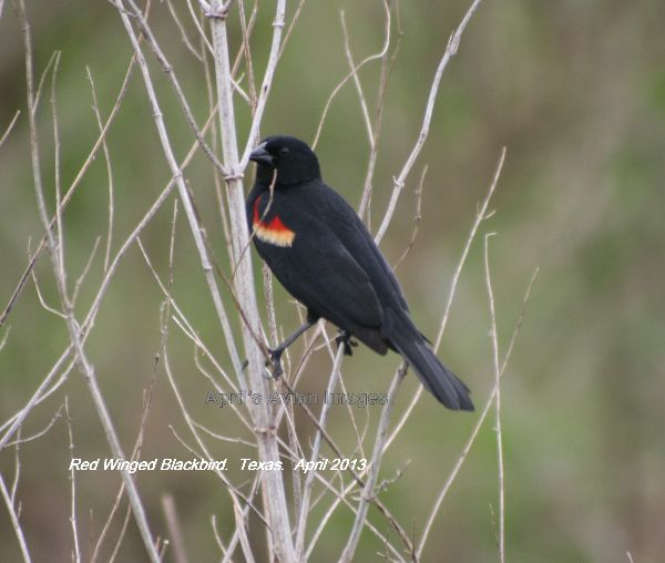 Red-winged Blackbird tried hard to photograph these last year in New Jersey, but they were so quick, glad to have another chance this year in Texas