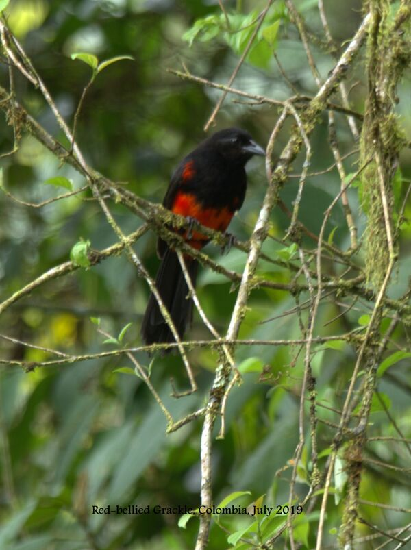 Red Grackle