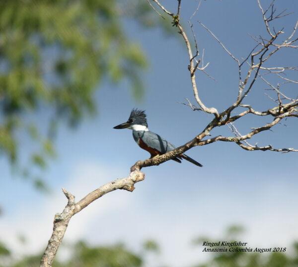 Ringed Kingfisher 1