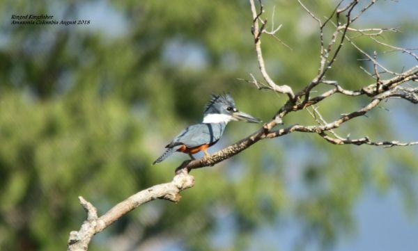 Ringed Kingfisher 2