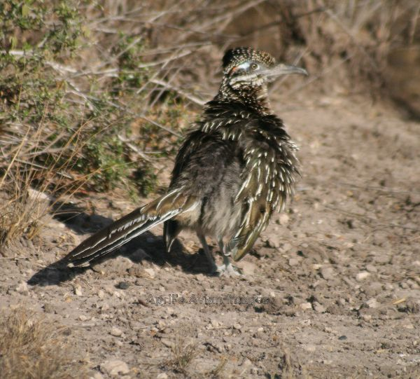 Roadrunner.  We couldn't believe we actually saw - and photographed - a Roadrunner !!!