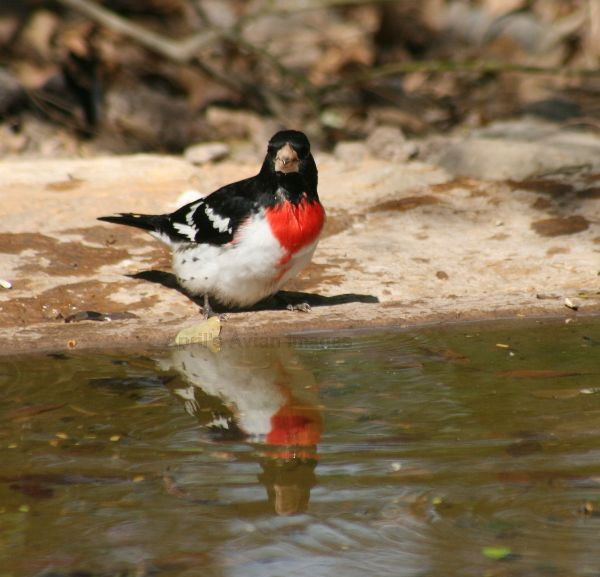 Rose-breasted Grosbeak at the watering hole