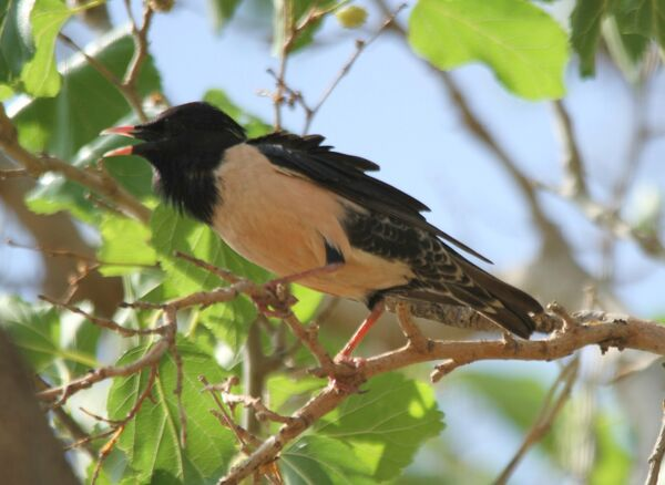 Rose-colored Starling ~ May 2018