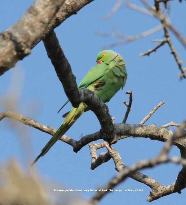 Rose-ringed Parakeet.  Love these birds, noisy and colourful, becoming very successful in the wild here in the UK.