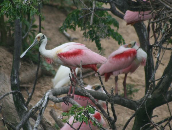 Roseate Spoonbill, not great photo but what a great bird, this was taken from an open platform looking across a narrow river, there were lots of birds on the island  including these very pink spoonbills
