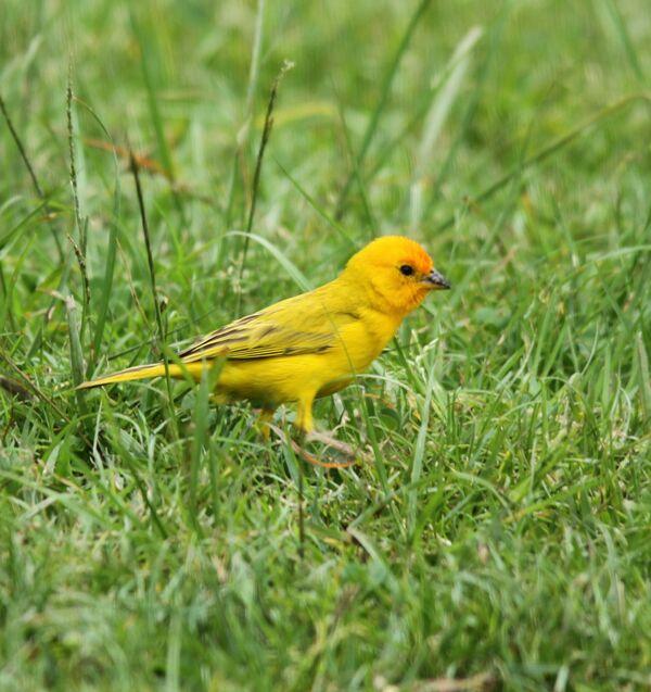 Saffron Finch 3