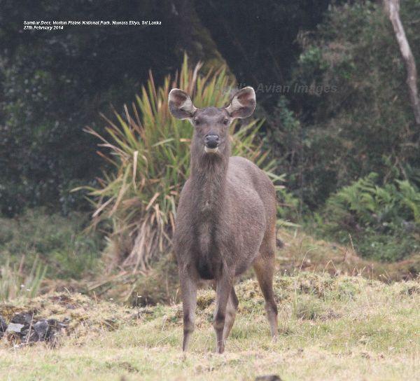 Sambar Deer.  Oh My What Big Ears You Have !!!!!