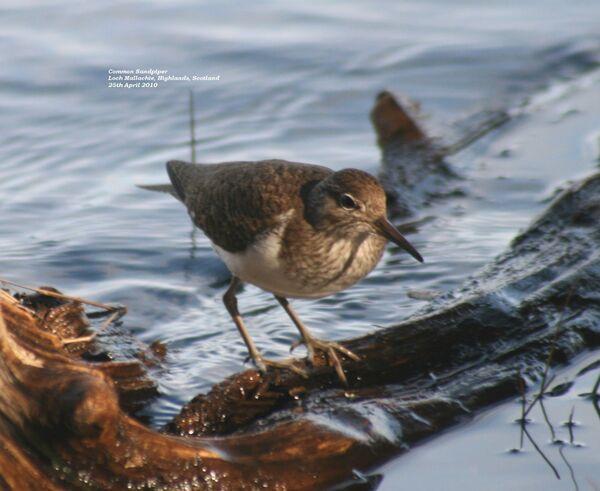 Common Sandpiper, Loch Garten RSPB
