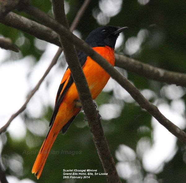 Scarlet (Orange) Minivet.  We stopped at the Grand Ella Hotel for lunch, beautiful gardens with wonderful views, this bird was spotted in the gardens, such vibrant colour.