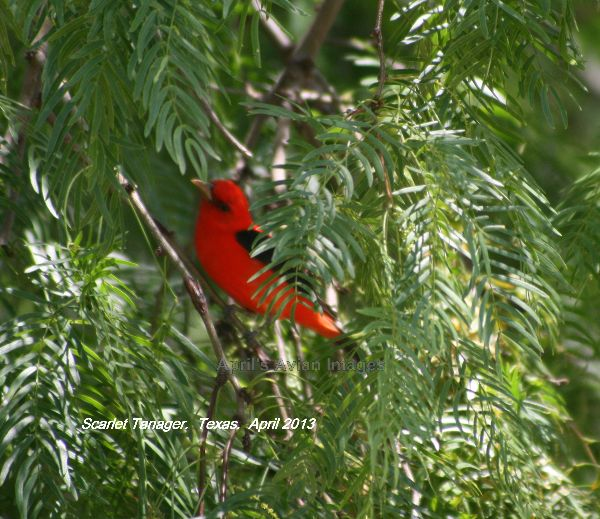 Scarlet Tanager, again colour only nature can produce, beautiful