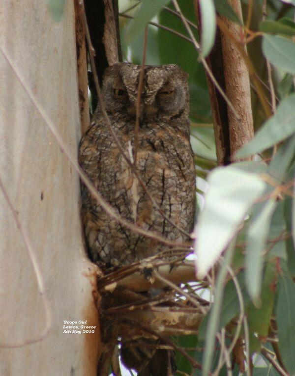 Scops Owl ~ May 2010