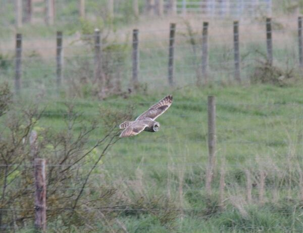 April ~ Short-eared Owl Holme Norfolk Wildlife Trust, Norfolk