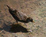 Sora Rail, saw one of these in Britain many years ago, great to see one in Texas