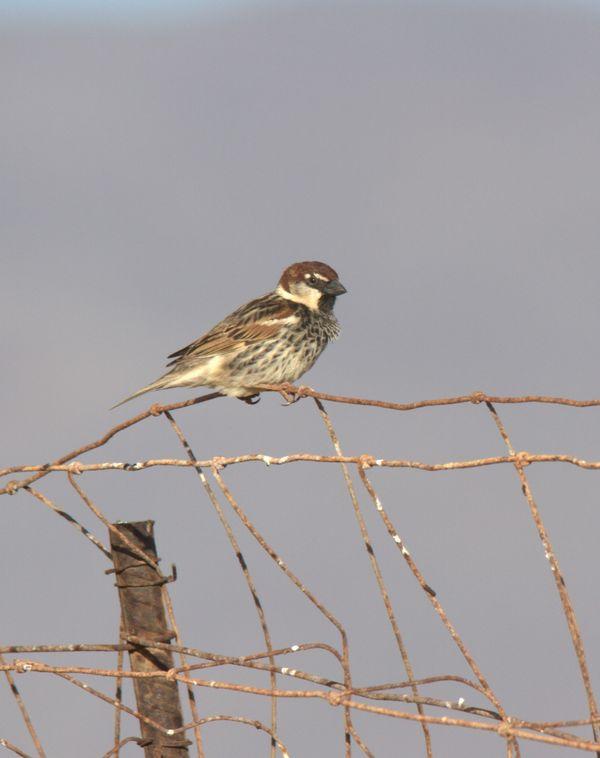 Spanish Sparrow 1
