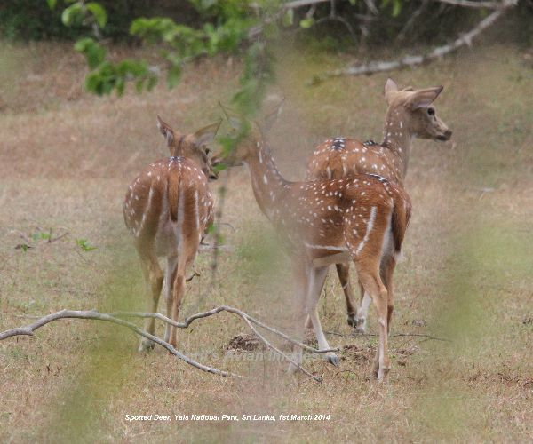 Spotted Deer, beautiful but camera shy.