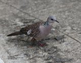 Spotted Dove, very numerous and so pretty, this was in the car park at the Grand Ella Hotel