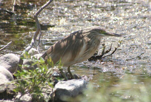 Squacco Heron ~ May 2010
