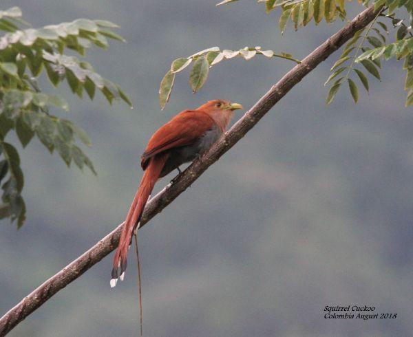 Squirrel Cuckoo 1 (2)
