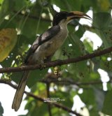 Sri Lanka Grey Hornbill.  Hornbills were birds that I particularly wanted to see whilst in Sri Lanka, these are endemic to Sri Lanka, and were seen in the Kitulgala Tea Garden.  Amazing birds.