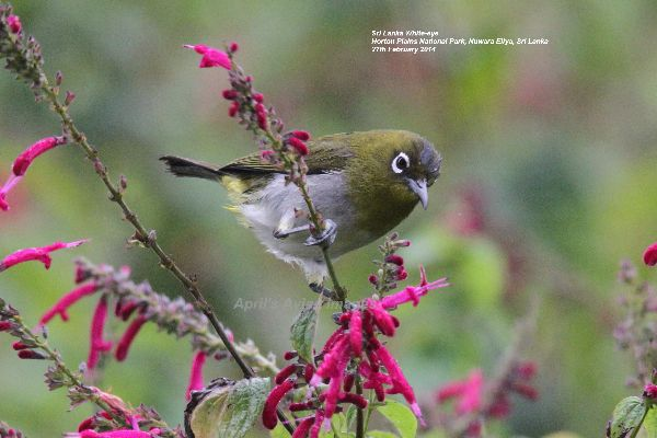 Sri Lanka White-eye. Endemic to Sri Lanka, he performed well for us, this was taken after a 5.5 mile walk around Horton Plains National Park, I am surprised I had the strength to lift the camera, but glad we did the walk, such a beautiful place.