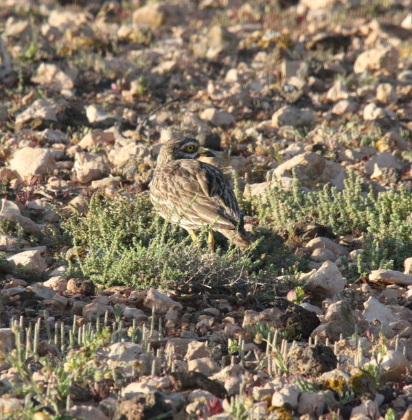 Stonecurlew 2