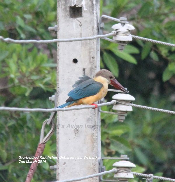 Stork-billed Kingfisher, this bird was determined not to come any closer !  Stork-billed is the right name for him.
