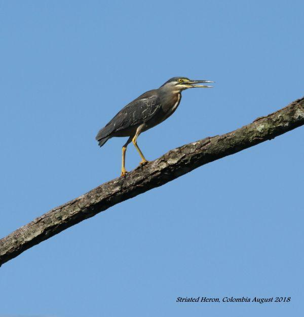Striated Heron 1