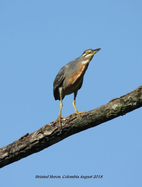 Striated Heron 4
