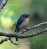 Tickell's Blue Flycatcher, this was also taken in the Kitulgala Tea Garden.