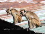 Toque Monkeys.  Lots of monkeys, these were playing around the roofs and  wires outside our Nature Walk  Resort Hotel in Kandy.