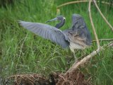 Tricoloured Heron, good photo opportunities at this wetland