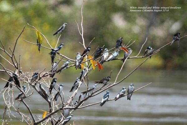 White-banded and White-winged Swallows