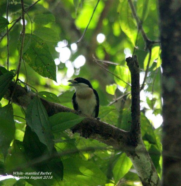 White-mantled Barbet 2