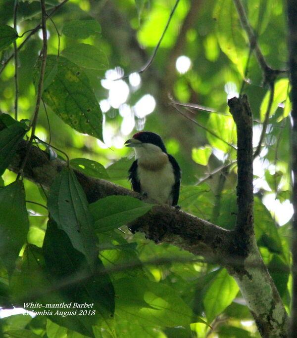 White-mantled Barbet 3