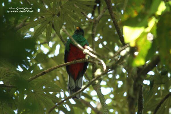 White-tipped Quetzal