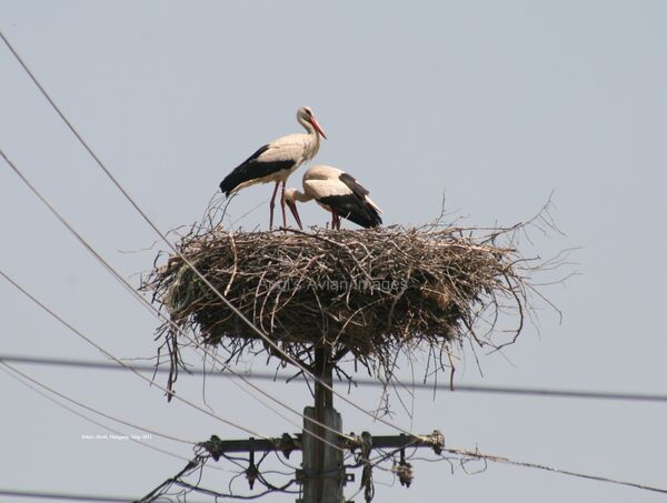 White Stork ~ 2011