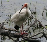 White  Ibis, don't get too close, alligators are neighbours !!!