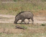 Wild Boar.  We saw a herd of these Wild Boar, with several Piglets, but very distant and too far for a decent photo.