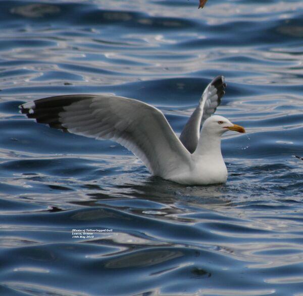 Yellow-legged Herring Gull ~ May 2010
