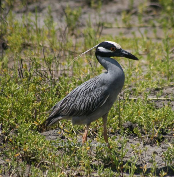 Yellow-crowned Night Heron, loved these very photogenic birds