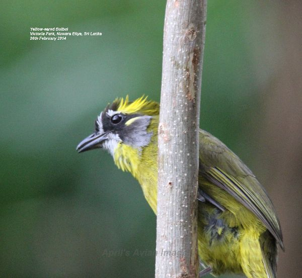 Yellow-eared Bulbul.  Saw this bird fly into a bush, waited ages for it to reappear, we had to move on, something else had been spotted, just as we were leaving he flew from the bush onto this post, a chance sighting and photo opportunity.